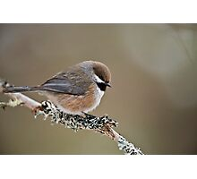 Boreal Chickadee Photographic Print