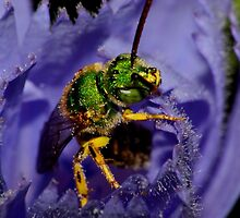 Sweat Bee in Chicory by Kane Slater