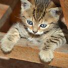 Blue-eyed kitten by Helen Greenwood