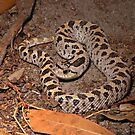 Southern Hognose Snake by Michael L Dye