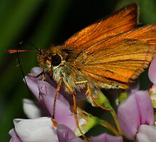 Skipper on Crown Vetch by Kane Slater
