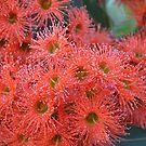 Flowering Gum by Helen Greenwood