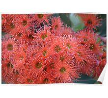 Flowering Gum Poster