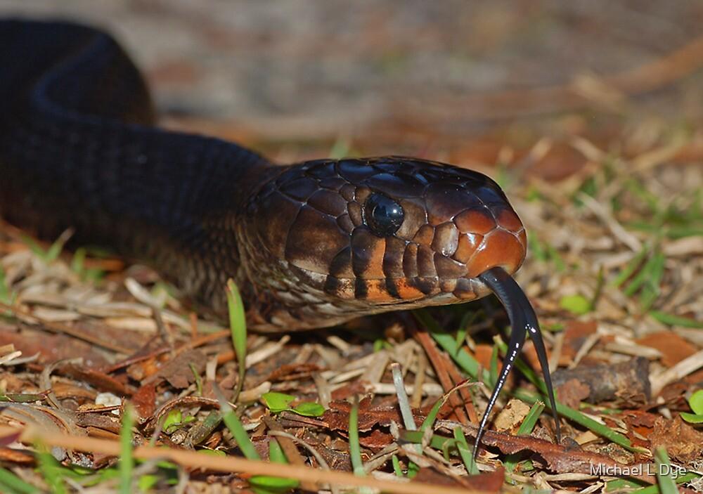 Eastern Indigo Snake by Michael L Dye