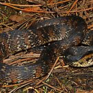 Florida Watersnake by Michael L Dye