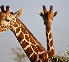 reticulated giraffe (Giraffa camelopardalis reticulata) by Shoba Ganesh