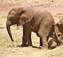 Samburu Elephant calves playing by Shoba Ganesh