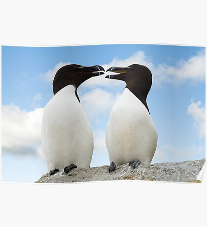 Razorbills chatting, Saltee Island, County Wexford, Ireland Poster