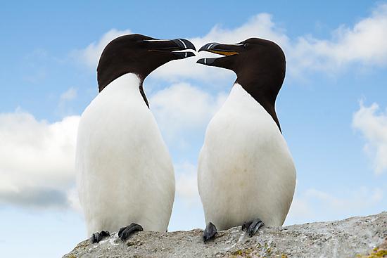 Razorbills chatting, Saltee Island, County Wexford, Ireland by Andrew Jones