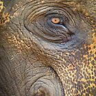 Close-up Elephant eye by Inez Wijker