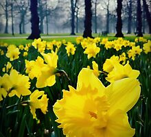 Daffodils by Paul Duncan