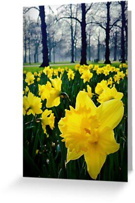 Daffodils by Paul Duncan
