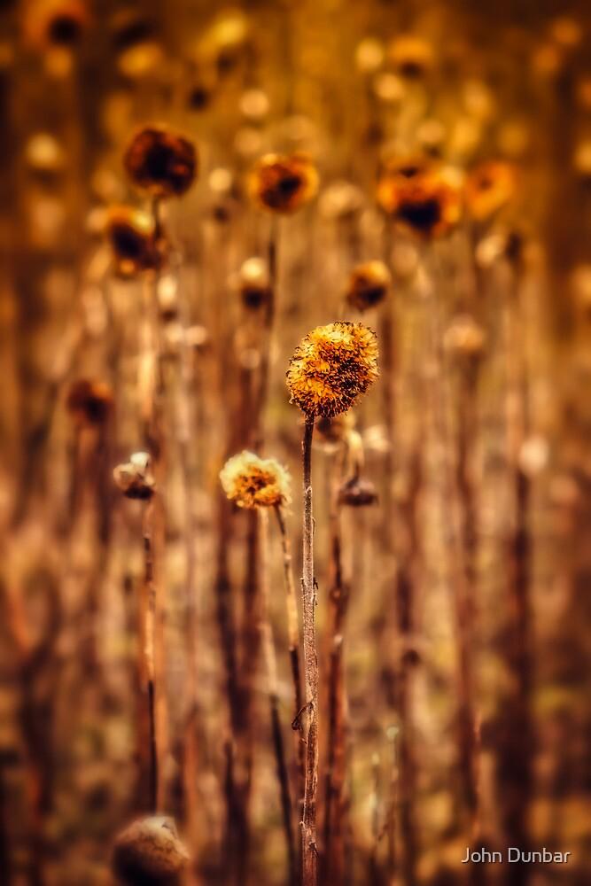 Sunflower Heads in the Winter Sun by John Dunbar