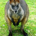 Wallaby by kchase