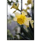Fair Daffodils by Glaspark