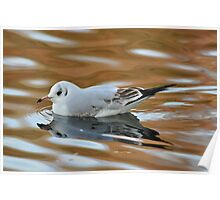 Gull on water Poster