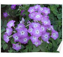 Lavender coloured flowers Poster