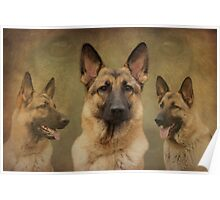 Sable German Shepherd Dog Collage Poster