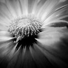 Black & White Daisy by Phigment