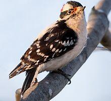 Male Downy Woodpecker on Maple Branch by Kenneth Keifer
