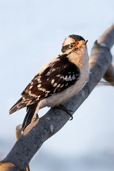 Male Downy Woodpecker on Maple Branch by Kenneth Keifer