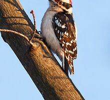 Downy Woodpecker and Budding Maple Branch by Kenneth Keifer