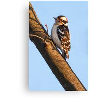 Downy Woodpecker and Budding Maple Branch Canvas Print