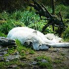 Sleeping Wolf by kchase
