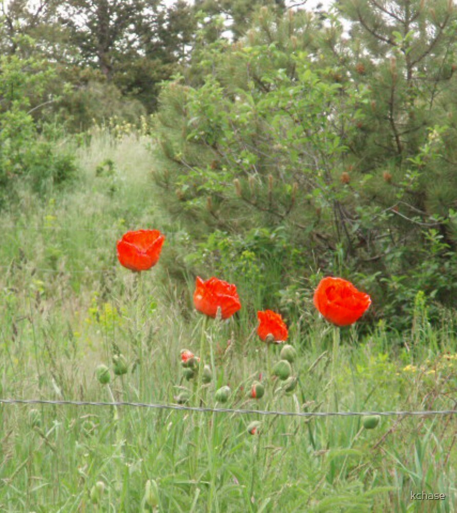 Poppies & Barbed Wire by kchase