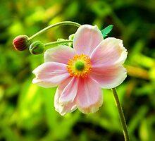 Pink Poppy by kchase