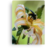 Bumblebee on dahlia Canvas Print