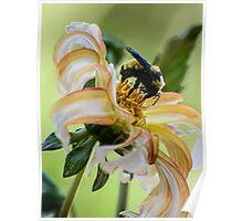 Bumblebee on dahlia Poster