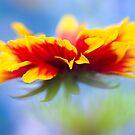 Gaillardia Splash by Sarah-fiona Helme