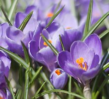 Crocus by were