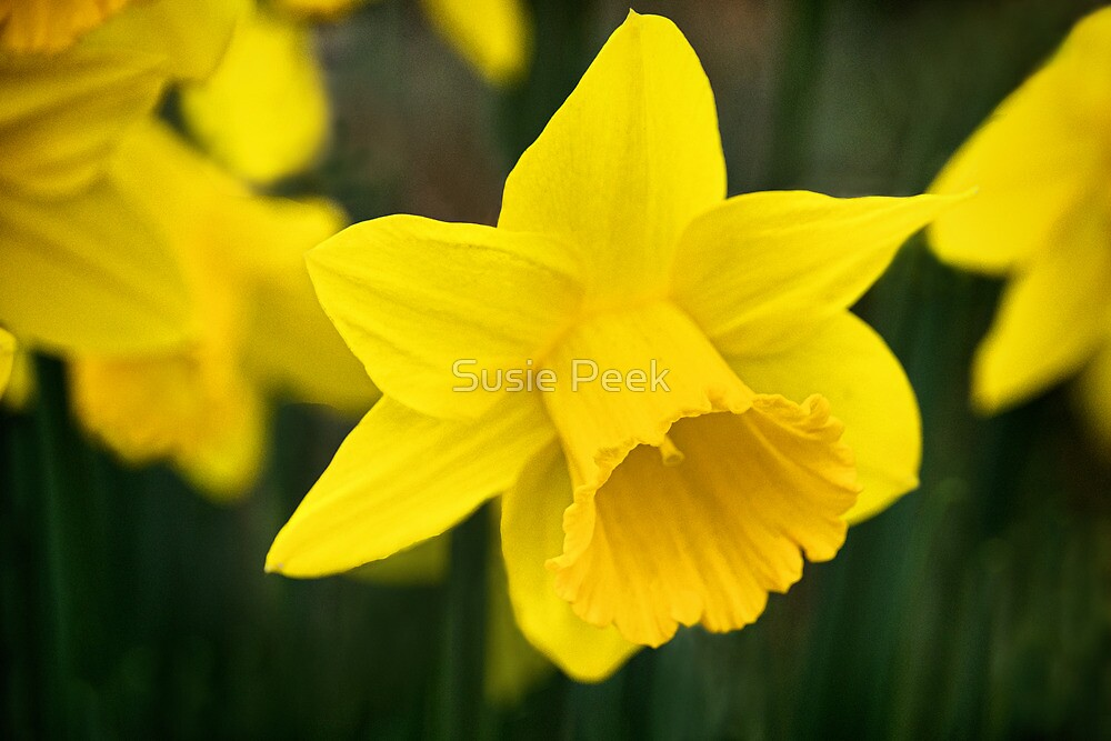 Daffodils 2 by Susie Peek