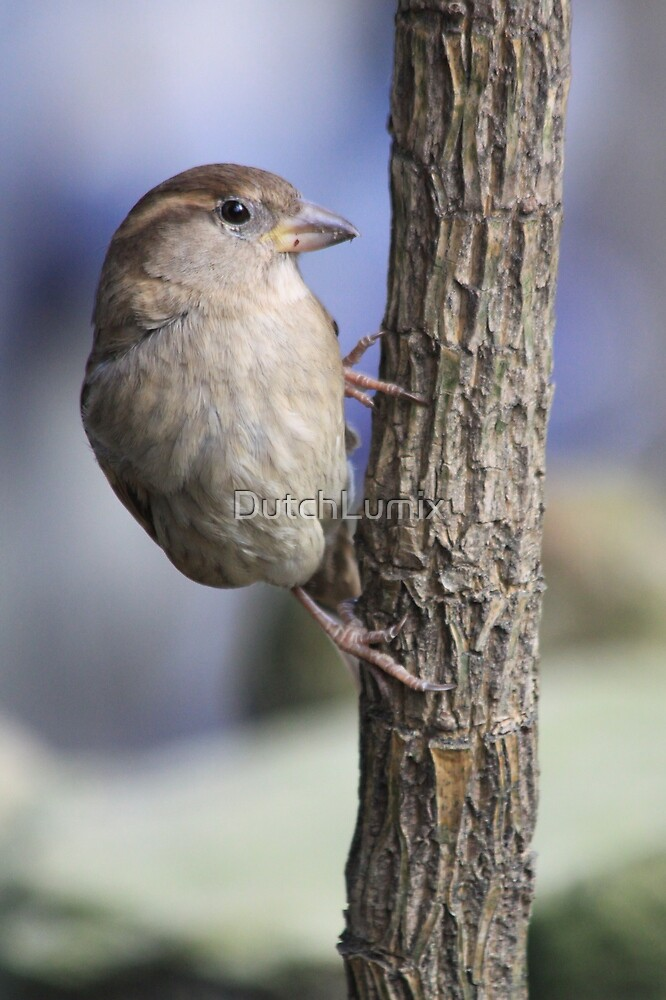 Female House Sparrow (Passer domesticus) by DutchLumix
