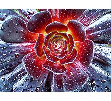 Succulent Aeonium Photographic Print