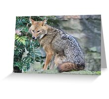 Golden jackal (Canis aureus) Greeting Card