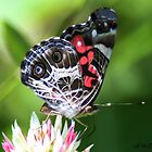 Painted lady on Red Clover by ArtbyBart