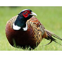 March of the Pheasant Photographic Print
