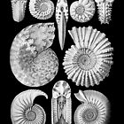 Sea Shells and Fossils in Black and White (Ammonitida) by RedPine
