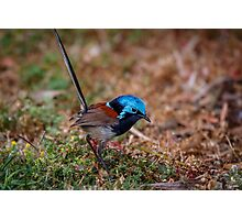 Red Winged Fairy Wren Photographic Print