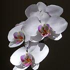 phaleonopsis by Floralynne