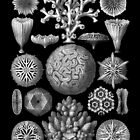 Corals in Black and White (Hexacoralla) by Ernst Haeckel by RedPine