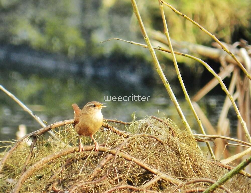 Little Jenny Wren! by weecritter