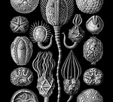 Sea Fossils in Black and White (Cystoidea) by Ernst Haeckel by RedPine