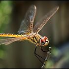 Dragon Fly by Helenvandy