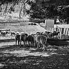 Sheep&#x27;n&#x27;shade&#x27;n&#x27;shed by Maree Cardinale