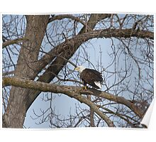 American Bald Eagle With Food 1 Poster