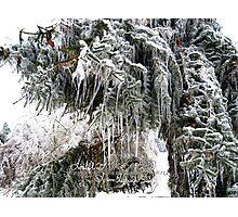 frozen needles Photographic Print
